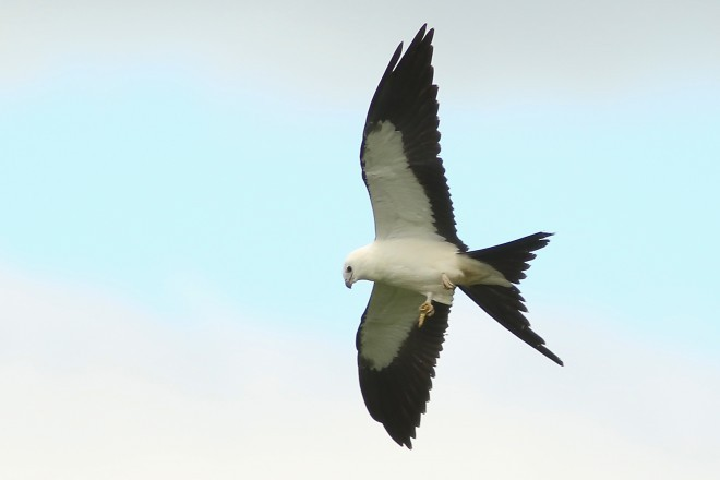A Swallow-tailed Kite spreads the feathers of its wings and tail.