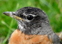 American-Robin-Inglewood-bird-sanctuary