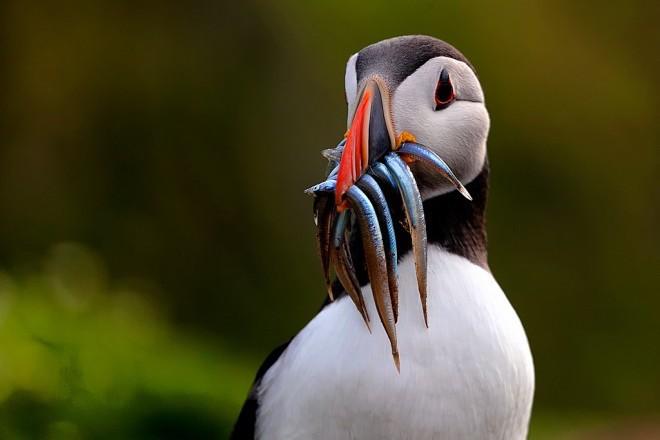 Atlantic Puffin made bird news.
