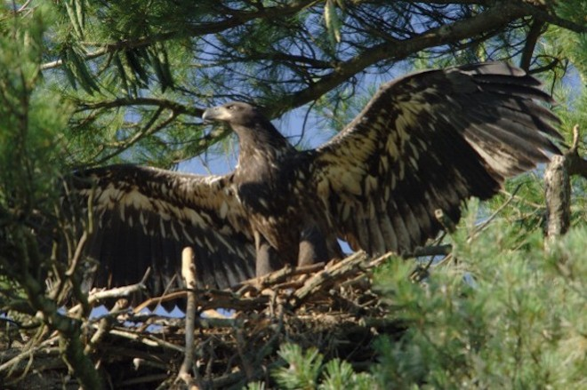 Juvenile Bald Eagles have white axilaries.