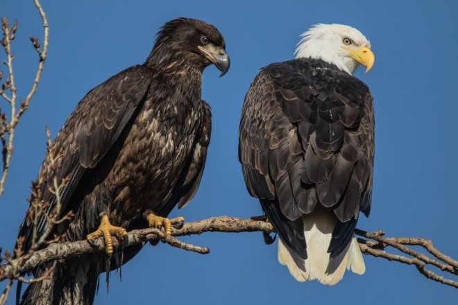 Two Bald Eagles perch side by side.