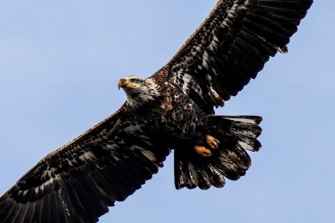 A third-year Bald Eagle in flight.