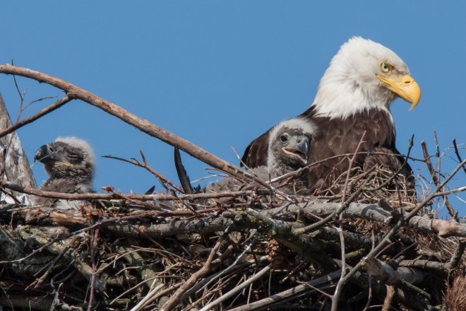 Adult and just-hatched Bald Eagles in a nest.