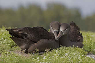 Black-footed Albatross nests in Papahanaumokuakea Marine National Monument.