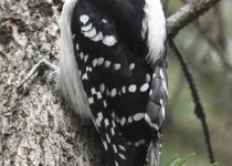 Downy-Woodpecker-Fish-Cr-Pk
