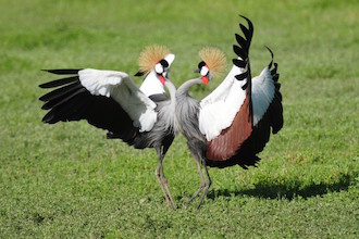Ecotourist favorites: Grey Crowned Cranes in Tanzania.