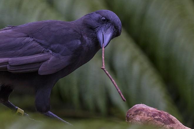 Hawaiian Crow is a skilled tool user.