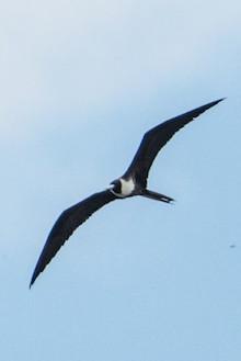 Magnificent Frigatebird made bird news.