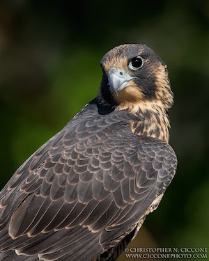 Peregrine Falcon by Christopher Ciccone