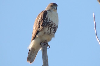 Red-tailed Hawk at Cape May Point, New Jersey, by Marian McSherry.