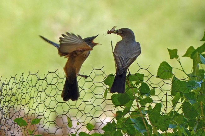 A recently fledged Say's Phoebe with an adult in Zion National Park, in Utah.