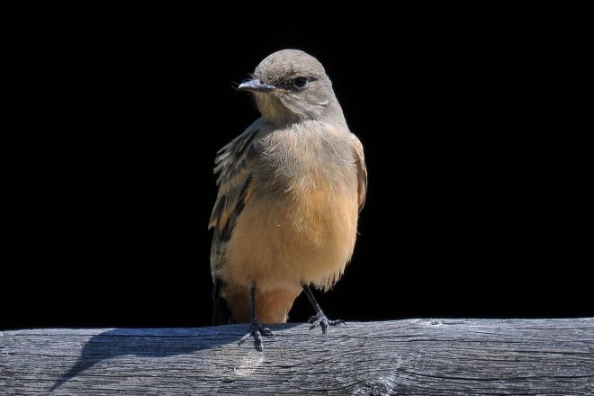 Juvenile Say's Phoebe in Westminster, Colorado.