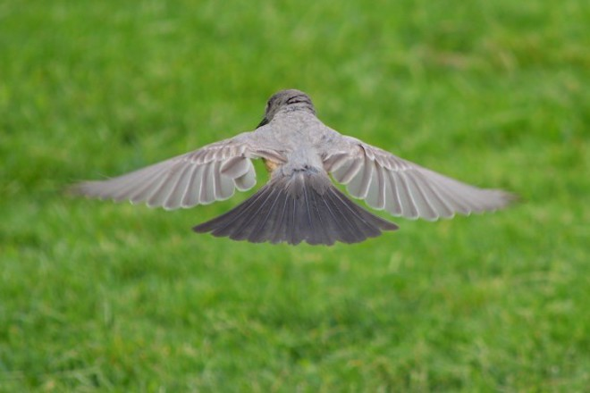 Say's Phoebe in flight.