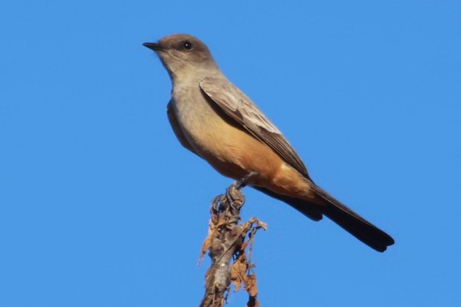 Say's Phoebe in Miller County, Georgia.