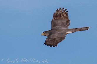 Sharp-shinned Hawk near Salem, Oregon, by Gary Miller.