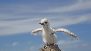 White Tern chick, by Dan Clark/USFWS-Pacific Region.