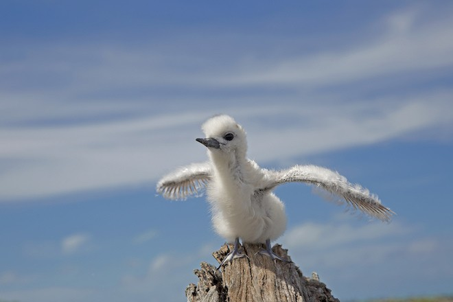 White Tern nests in Papahanaumokuakea Marine National Monument.