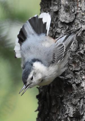 White-breasted Nuthatch by David Mundy