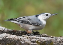 White-breasted-Nuthatch-Fish-Cr-Pk-2