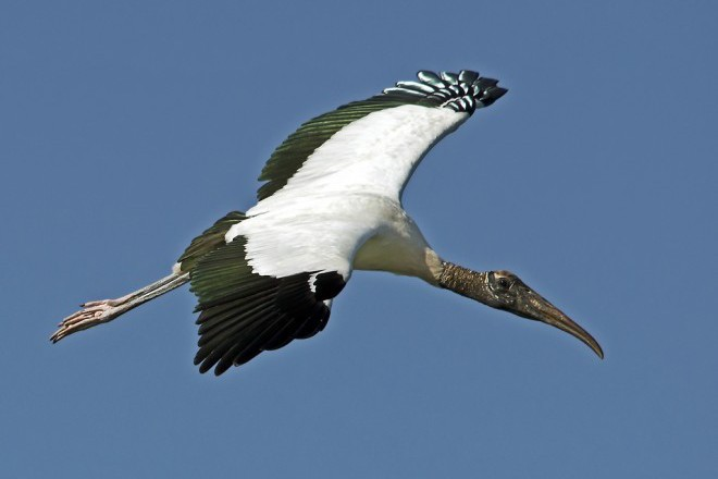 Once endangered, now threatened: Wood Stork over Wakodahatchee Wetlands, Delray Beach, Florida, by snooked.