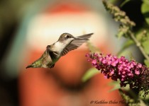 hummingbird-visiting-butterfly-bush