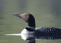 loon1-small