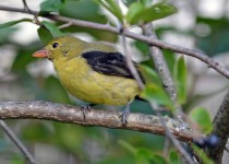 tanager8168-copy