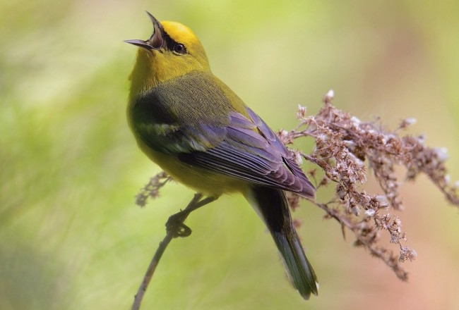Blue-winged Warbler and Golden-winged Warbler are remarkably similar.