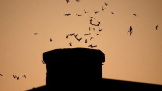 Vaux's Swifts