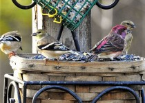 Purple Finch and American Goldfinches