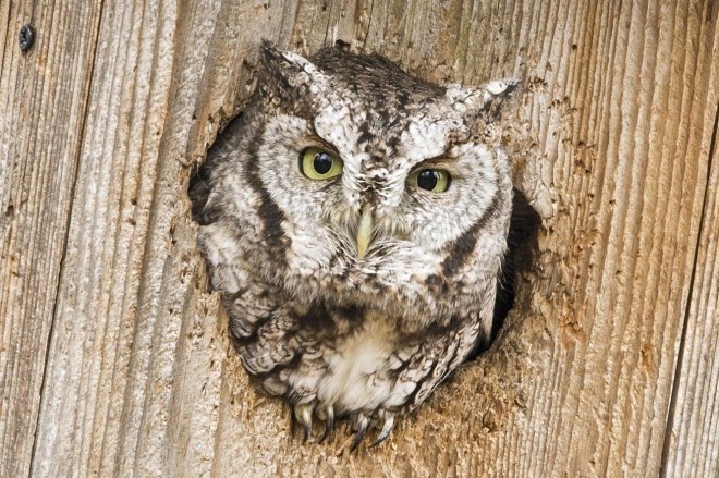 An Eastern Screech-Owl peers from the entrance of a duck box.