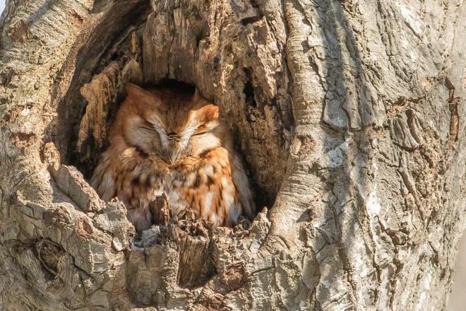 Eastern Screech-Owl.