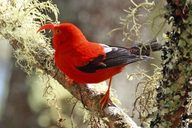 The honeycreeper known as ʻIʻiwi made bird news.