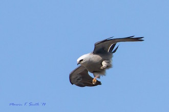 Mississippi Kite made bird news in Wisconsin.