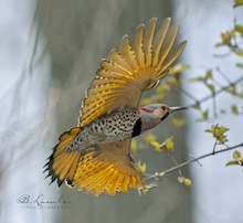 Northern Flicker made bird news in early October.