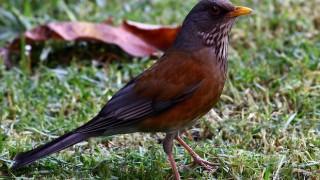 Rufous-backed Robin, May 2007, by Pablo Lèautaud (Wikimedia Commons).