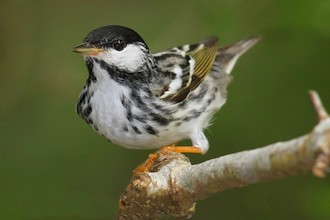 Blackpoll Warbler collides with communication towers.
