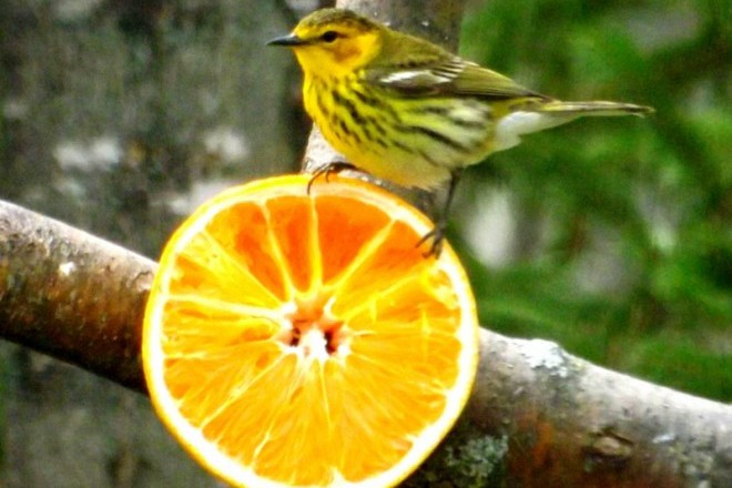 Cape May Warbler may be attracted to yards where bird killers lurk.