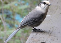 Gray-Jay-Emerald-Lake