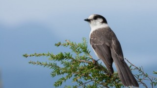 Gray Jay made bird news recently. This one was at Cypress Mountain, Vancouver, British Columbia, by Tony Joyce.