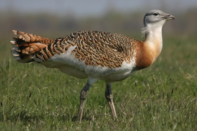 Size differences between males and females are huge in the Great Bustard.