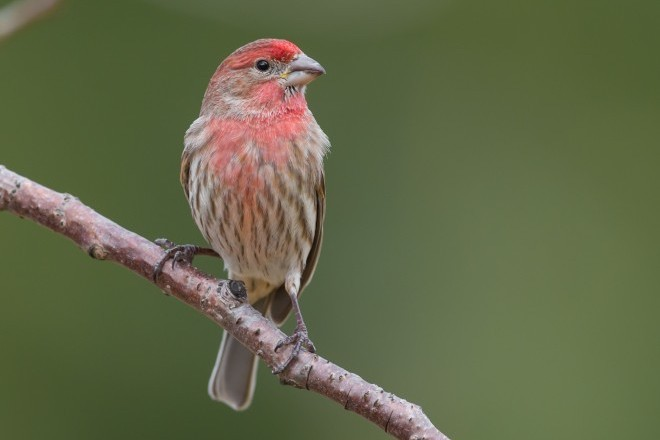 A male House Finch, often confused with Purple Finch.