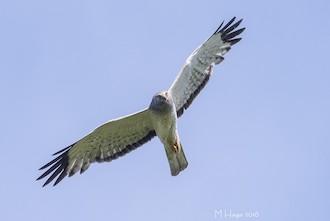 Northern Harrier made bird news recently. Photo by mayhaga.