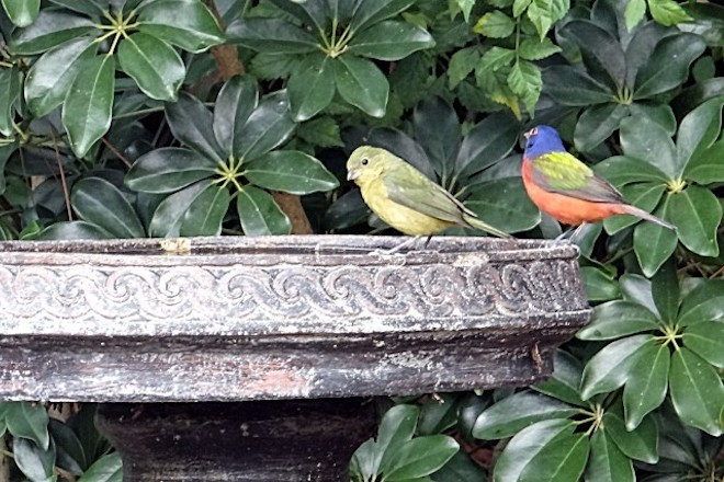 Female Painted Bunting and male Painted Bunting.