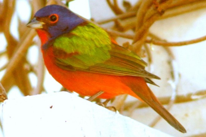 Male Painted Bunting.