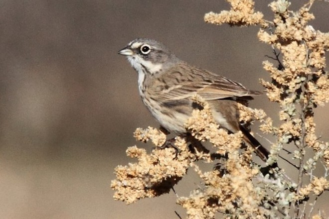 Sagebrush Sparrow made bird news recently. This one was near Phoenix, Arizona.