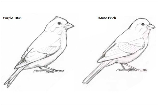 A slight crest and a notched tail distinguish Purple Finch (left) from House Finch.