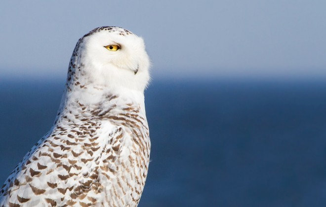 Not all Snowy Owls starve in winter. This one was in New Brunswick, February 2016.