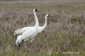 Whooping Cranes made bird news in October. This pair was at Aransas National Wildlife Refuge, Texas, by mayhaga.