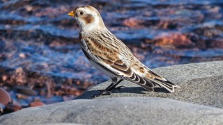 Y3-M11-Lester-River-Snow-Bunting-1